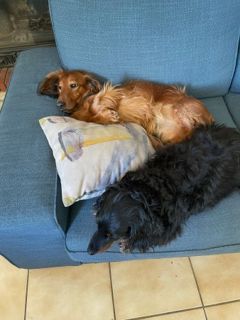 Lazy puppies : Hercules lying on his back on the blue couch, with a pillow in front of him, and Freddy in front of the pillow, not looking at the camera.
